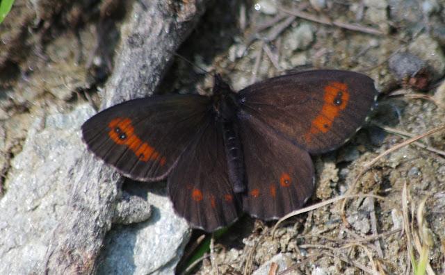 Erebia meolans (DE PRUNNER, 1798), mâle. Curtins, 2000 m (Engadine, Grisons, CH), 14 juillet 2013. Photo : J.-M. Gayman