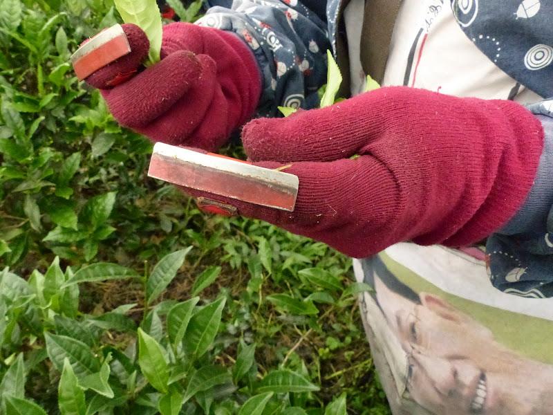 Puli, Nantou county, cueillette de thé - P1050553.JPG