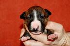 Brindle girl 2 - 3 weeks old