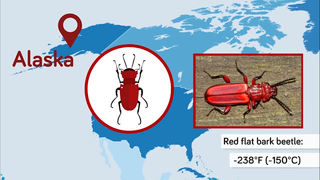 Red Flat Bark Beetle can survive in temperatures of -238°F (-150°C)