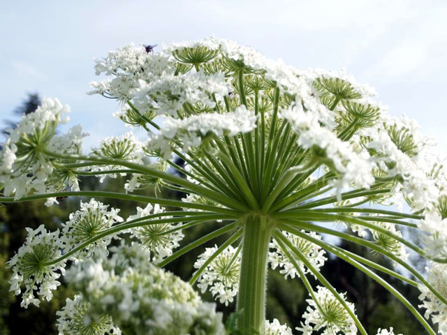 Giant hogweed (Heracleum mantegazzianum). Photo: kacege photography / Getty Images
