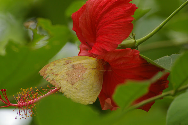 Catopsilia pomona pomona forme catilla CRAMER, 1779, femelle. Jinghong (Xichuangbanna, Yunnan), 28 août 2010. Photo : J.-M. Gayman