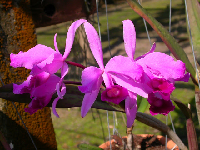 Растения из Тюмени. Краткий обзор - Страница 2 Cattleya_lawrenceana