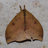 Hemileucinae : Automeris metzli (SALLE, 1853). Los Cedros, 1400 m, Montagnes de Toisan, Cordillère de La Plata (Imbabura, Équateur), 18 novembre 2013. Photo : J.-M. Gayman