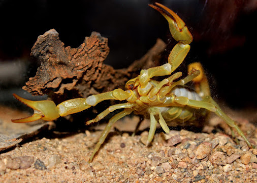 Giant hairy desert scorpion