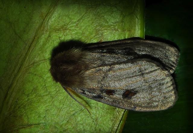 Lymantriidae : Leptocneria reducta WALKER, 1855. Umina Beach (N. S. W., Australie), 9 janvier 2012. Photo : Barbara Kedzierski
