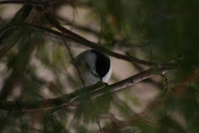 A blue jay hiding in the pines