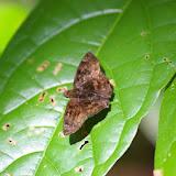 Hesperiidae : Bolla sp. Saül (Guyane), 2 décembre 2011. Photo : J.-M. Gayman