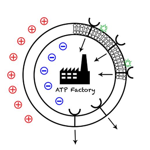 PEMF re-energizes blood cells