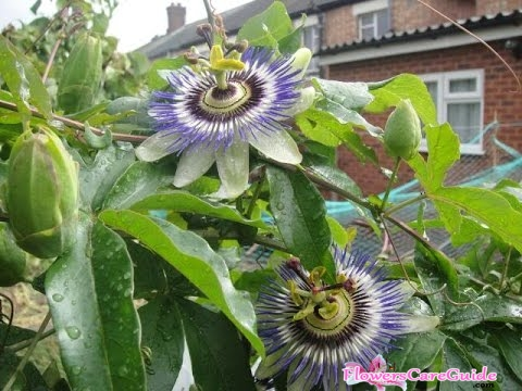 Passion Flower Propagation