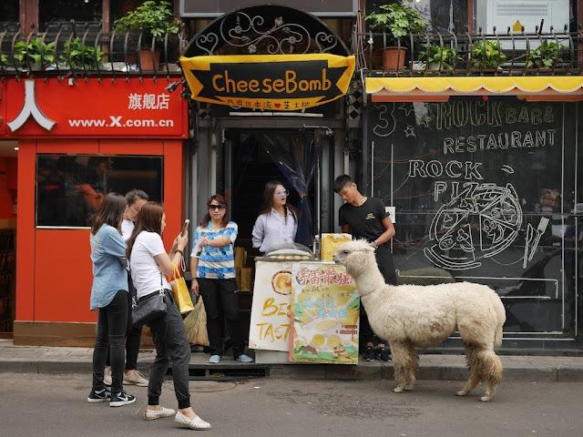 Alpaca in a promotion in Beijing's Sanlitun area
