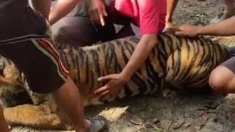Tim KLHK Amankan Pelaku Perdagangan Bagian Tubuh Harimau Sumatra di Sumbar