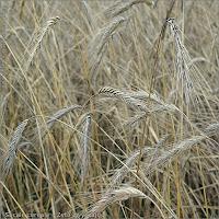 Secale cereale frouits - Żyto zwyczajne owoce