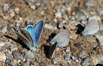 Hvidrandet blåfugl, dorylas, han.jpg