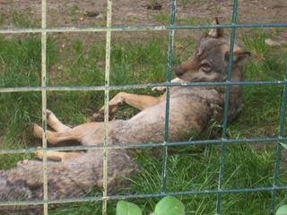2008.07.01-031 loup