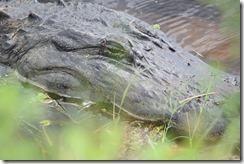 Big gator-2