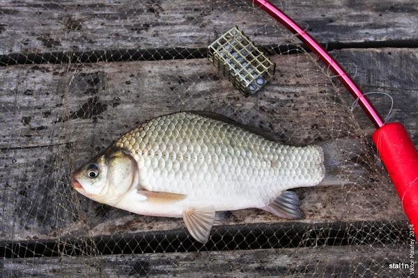 Cтандартний карась цієї рибалки