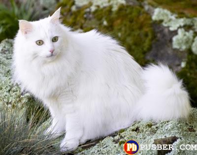 Jenis Kucing Anggora
