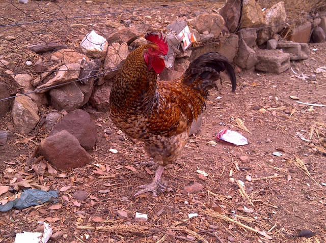 I walk by hundreds of chickens during the day.  I have gained a real appreciation for Roosters.