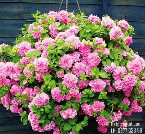 Hạt giống hoa dạ yến thảo kép