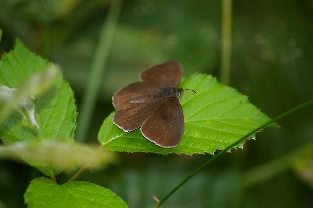 Aphantopus hyperantus LINNAEUS, 1758, mâle, en forêt. Les Hautes-Lisières, 9 juillet 2009. Photo : J.-M. Gayman