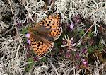 Klitperlemorsommerfugl - Fanø.jpg