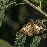 Achlyodes pallida (R. Felder, 1869). Machetá, 2070 m (Cundinamarca, Colombie), 1er novembre. Photo : B. Lalanne-Cassou