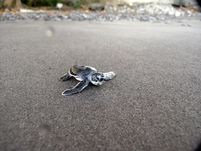 Green Turtle Hatchling. Photo credit: Marine Creatures
