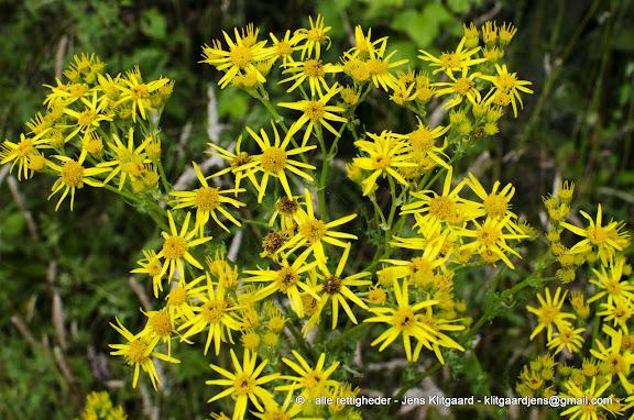 Gule blomster i Østerskoven ved Haderslev