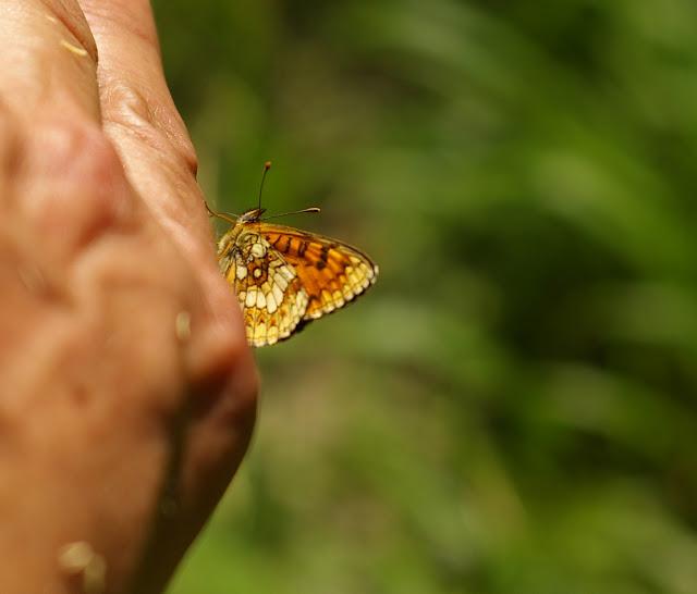 Melitaea athalia (Rottemburg, 1775). Étang des Marots, Forêt de Châtillon (Côte d'or), juin 2006. Photo : J.-M. Gayman