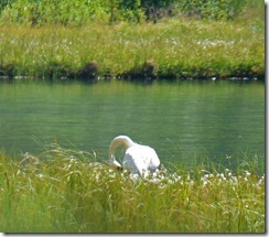 Trumpeter Swan at Tern Lake