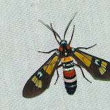 Erebidae : Arctiinae : Euchromini : Euchromia folletii (GUÉRIN-MÉNEVILLE, 1832). Shai Hills (Ghana), 25 décembre 2013. Photo : J.-F. Christensen