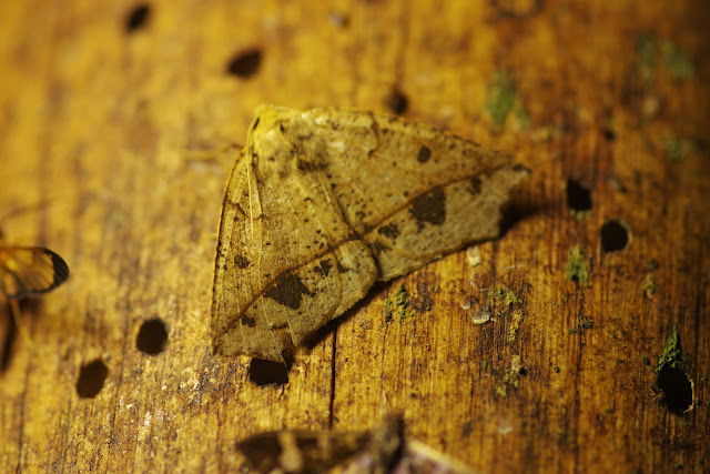 Geometridae : Ennominae : Macaria sp. (?). Los Cedros, 1400 m, Montagnes de Toisan, Cordillère de La Plata (Imbabura, Équateur), 21 novembre 2013. Photo : J.-M. Gayman
