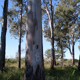 eucaliptus - 004.JPG