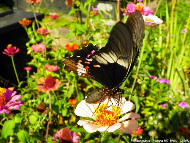 Papilio (Heraclides) anchisiades capys (HÜBNER [1809]). Pitangui (MG, Brésil), 25 février 2012. Photo : Nicodemos Rosa