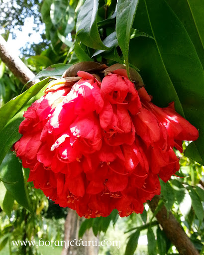 Brownea grandiceps, Scarlet Flame Bean, Rose of Venezuela flower