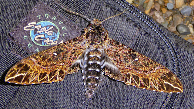 Sphingidae : Sphinginae : Euryglottis dognini Rothschild, 1896, mâle. Taipiplaya, près de Caranavi, 900 m (Yungas, Bolivie), 22 décembre 2014. Photo : Jan-Flindt Christensen