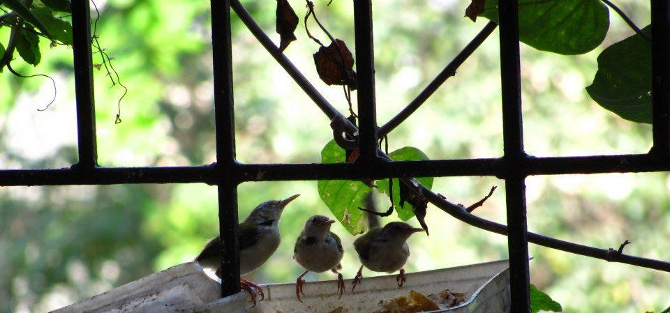 Tailorbird family