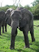 Elephant - Linyanti Concession (Chobe Region)