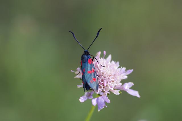 Zygaena hippocrepidis curtisi Tremewan, 1961. Les Hautes-Courennes, 550 m, Saint-Martin-de-Castillon (Vaucluse), 14 juin 2015. Photo : J.-M. Gayman