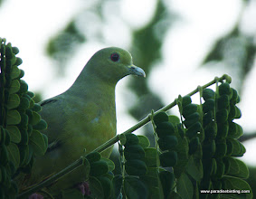 Photo: Pink-necked Green-Pigeon, female, Kota Kinabalu Bird Sanctuary
