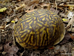 box turtle one