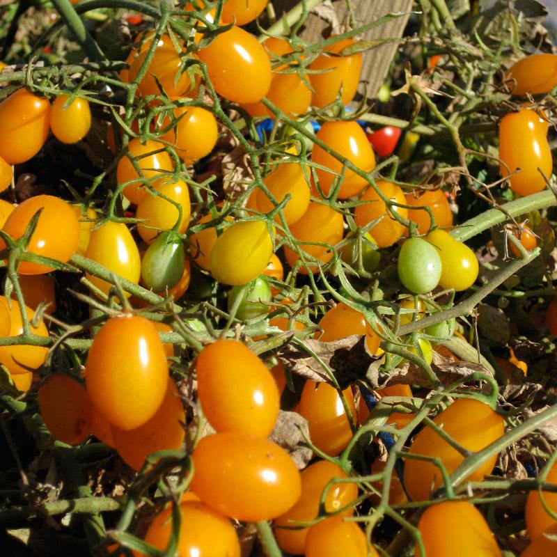 Cà chua bi hình trái lê gây sốt tại Việt Nam - 55c961e71daa0