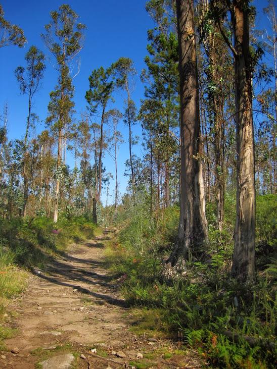 Eukalyptusbäume