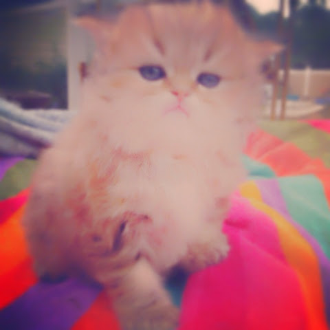Doll Face Persian Kittens For Sale, Teacup Persian Kittens For Sale ...