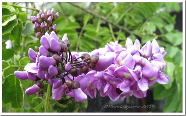 10-25-florida-lilacjpg