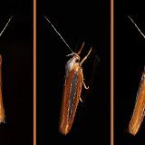 Probablement : Oechophoridae : Oecophorinae : Phytotrypa erythrotaenia WALLENGREN, 1861. Umina Beach (NSW, Australie), 23 octobre 2011. Photo : Barbara Kedzierski