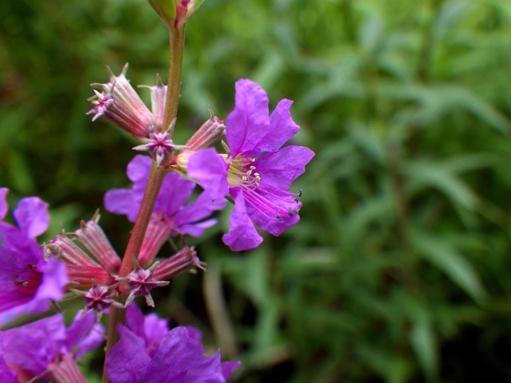 花の様子 短花柱花