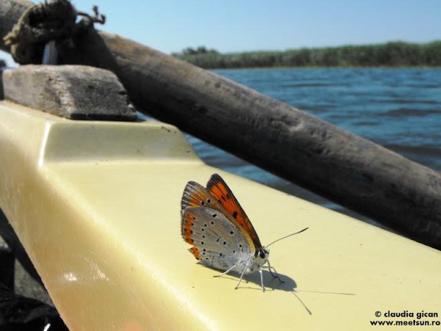 fluturas albastru (Polyommatus icarus) pe barca in Delta