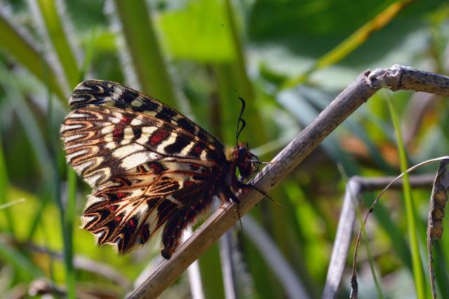 Zerynthia cassandra (GEYER, 1828). Parco Naturale Monti Livornesi (Toscane), 11 avril 2014. Photo : L. Voisin